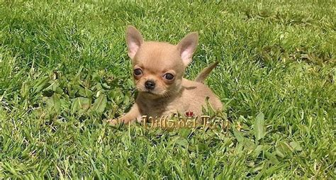 chihuahua h picture 18