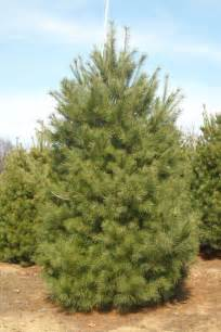 pines herb enlargement in nigeria picture 9