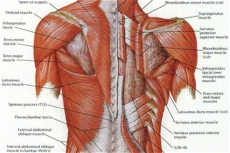 deep back muscle mustavius picture 5