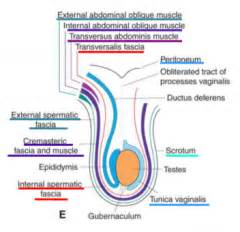 testosterone and muscle development picture 13
