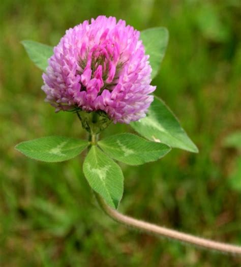 search : info about red clover tea picture 14