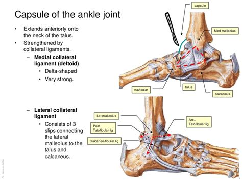ankle joint picture 11