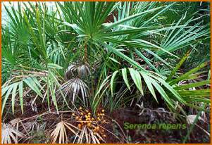 Saw palmetto picture 10