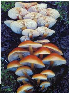 scientific names for fungi picture 11