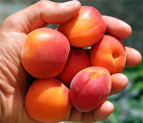 apricots health picture 6