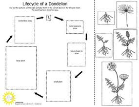 pictures of dandelion growth cycle picture 1