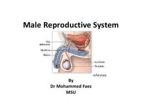 jakol i male reproductive systems picture 1