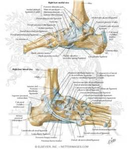 ankle joint picture 18