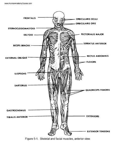 human muscle diagram picture 6
