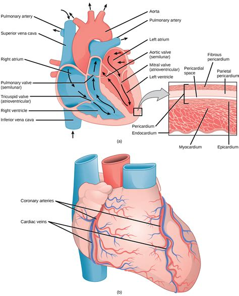 cardiac muscle cells are picture 3