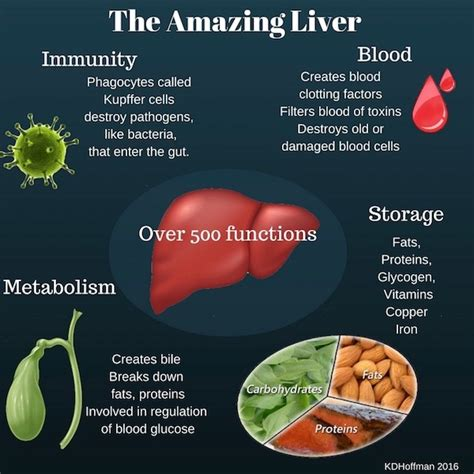 all functions of the liver picture 13