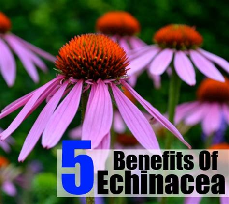 benefits of echinacea picture 2