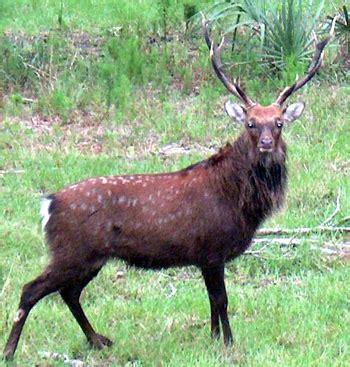 slovaka deer antler picture 21