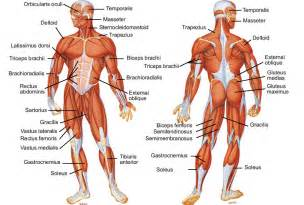 high school anatomy what muscles and joints are picture 6