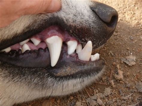 wolf teeth picture 5