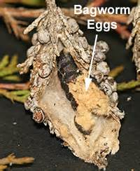 how to extract eggs from a female picture 10