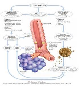 how does respiratory alkalosis effect airway smooth muscle picture 4