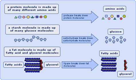digestion and enzymes picture 7