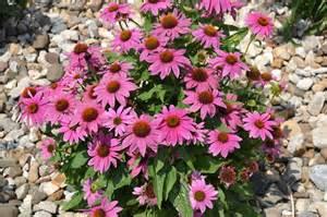 echinacea 'pica bella' picture 7