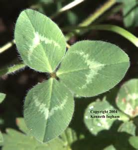 red clover leaf picture 1