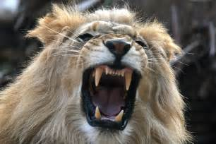 lion teeth picture 3