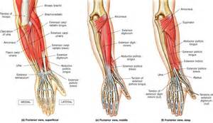 forearm muscle picture 7