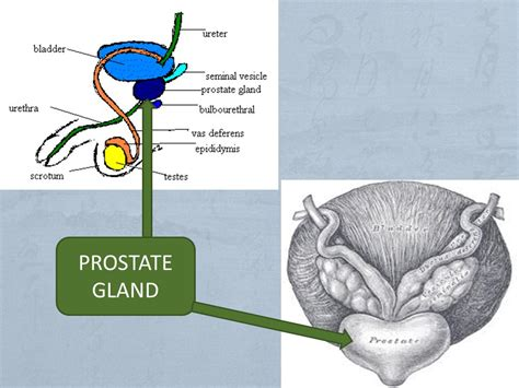 Prostate function picture 6