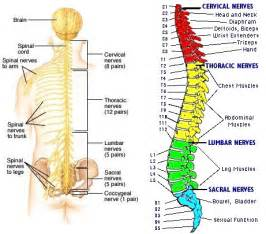 does pinched sciatic nerve affect erection nerves picture 1