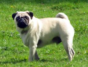 pugs and skin problems picture 9
