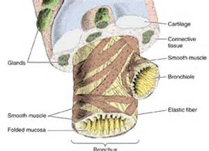 bronchial smooth muscle picture 7