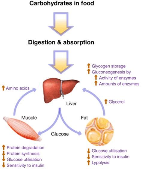 carbohydrate digestion picture 2