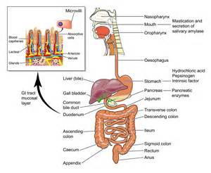 human cyellow diarrhea causes intestinal system picture 7