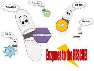 how does enzymes help digestion picture 2
