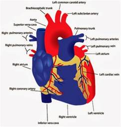 heart diagram picture 9