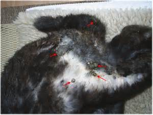 domestc rabbit skin diseases picture 7