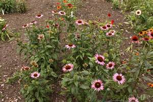 echinacea 'elton knight' picture 6