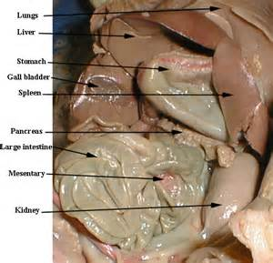 pig digestion picture 13