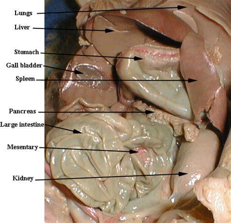 fetal pig digestion system picture 15