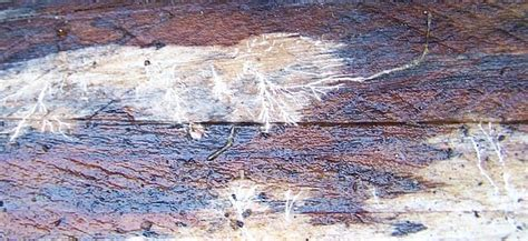 white fungus on wood picture 14
