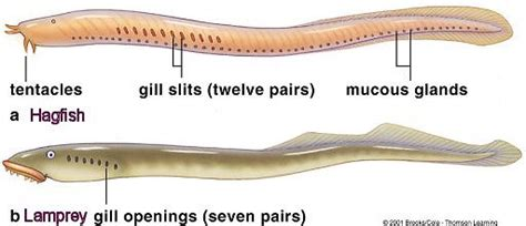 digestion system of hag picture 9