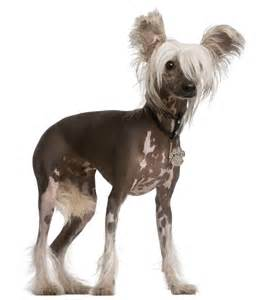chinese crested h picture 2