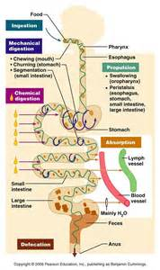 machancial digestion picture 15