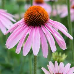 herbal medicine echinacea picture 2