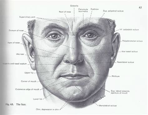 facial anatomy lips picture 2