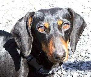 skin disease in dachshunds picture 14