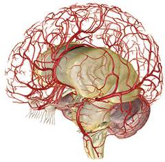 blood flow to male brain picture 11