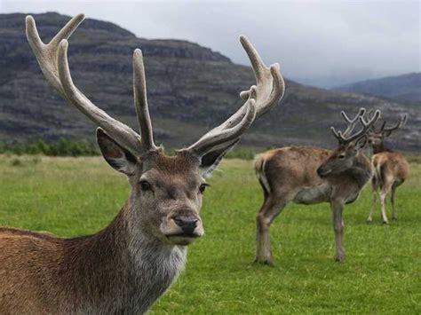 deer velvet antler good for h picture 4