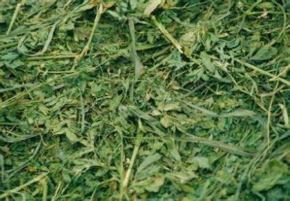 alfalfa and laminitis picture 3