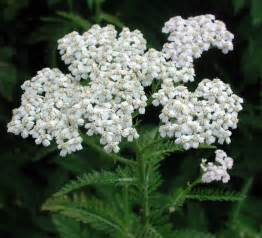 yarrow use picture 14