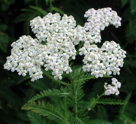 yarrow picture 14